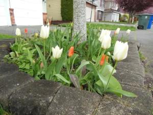 Valkoisia! Oransseja! (Tänään vielä keltaisia ja punaisiakin, mutta kuva on pari päivää vanha)
