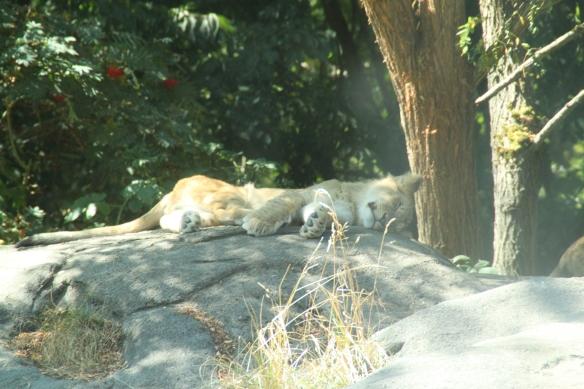 Leijonanpentu ottaa rennosti