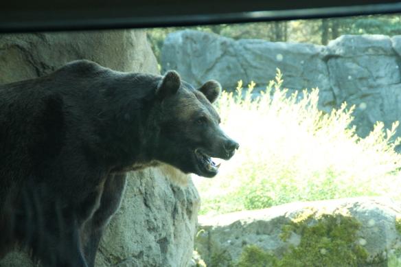 Karhut näkyivät tällä kertaa valitettavasti vain lasin läpi